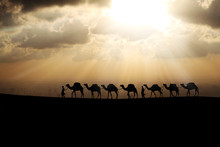 Camels Queue In The Sunset Bac...