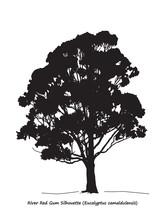 Eucalyptus Camaldulensis Or Ri...