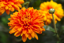 Orange Chrysanthemums