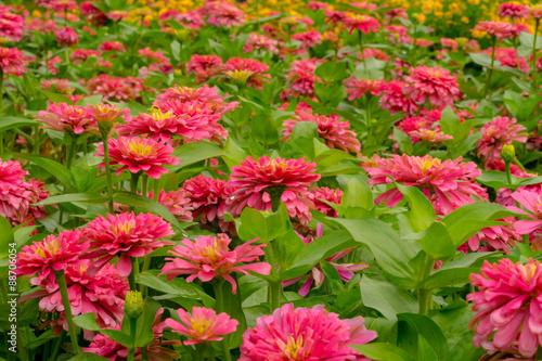 Poster de jardin Dahlia Zinnia Flower