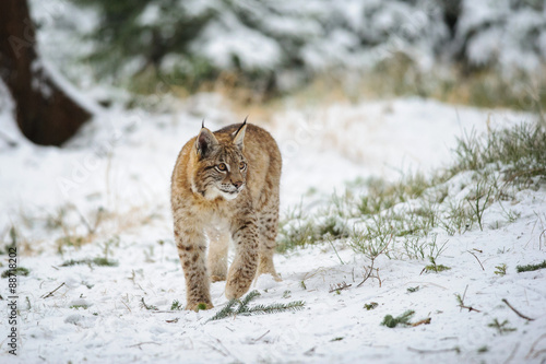 Poster Lynx Eurasian lynx cub standing in winter colorful forest with snow
