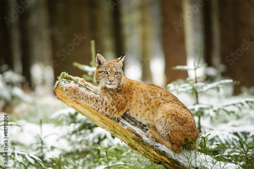 Poster Lynx Eurasian lynx cub lying on tree trunk in winter colorful forest