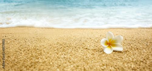 Poster Plumeria Plumeria alba (White Frangipani) on sandy beach