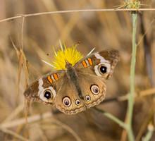 Common Buckeye (Junonia Coenia...