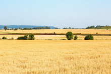 Ripe Cornfield In Rural View