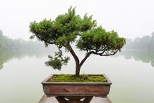Japanese Bonsai Tree In Pot At...