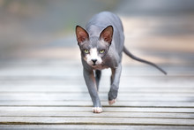Grey Canadian Sphynx Cat Walking Outdoors