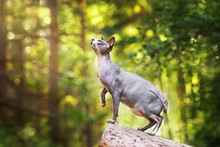 Grey Canadian Sphynx Cat Posing In The Forest