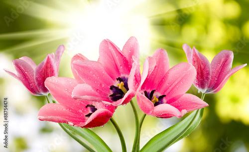 tulipany-na-zielonym-tle