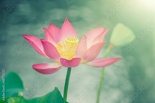 Staande foto Lotusbloem The beautiful red lotus in full bloom, in foggy weather