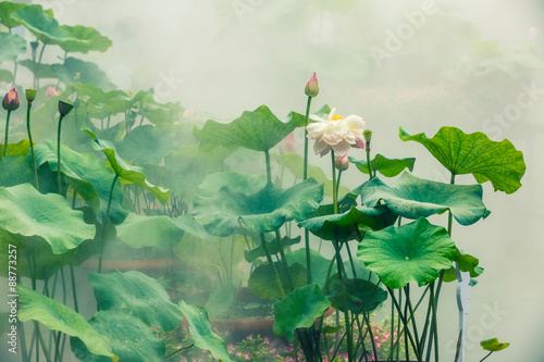 Poster Olive The beautiful pond lotus in foggy weather