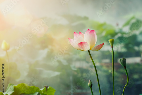 Photo Stands Lotus flower The beautiful pond lotus in foggy weather