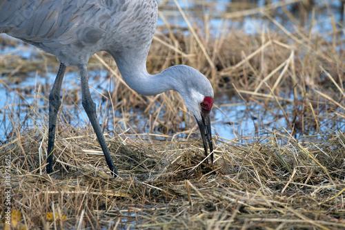 It Was Twilight And Sandhill Cranes >> Sandhill Crane Feeds At Twilight In Bosque Del Apache National