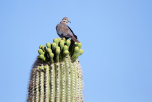 White-winged Dove On A Giant S...