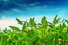 Soybean Crops In Field With Blue Sky