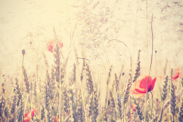 Obraz na SzkleRetro vintage filtered wild meadow with poppy flowers at sunrise