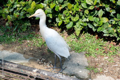 Photo  Cattle Egret (Bubulcus ibis)
