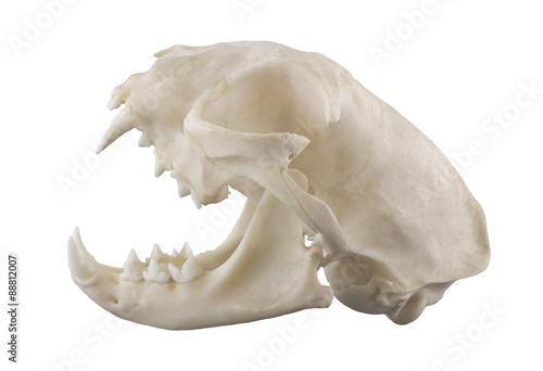 Cat skull isolated on a white background. Focus on full depth. Fototapeta