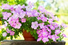 Petunia Flower In A Pot