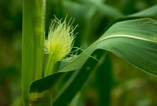 Close Up Of A Young Ear Of Corn With Silk Tassel In Midwestern Cornfield.