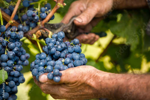 Fotografiet  Grapes harvest