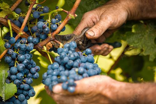 Fotografia  grape harvest close up