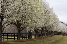 Bradford Pear Trees In Bloom B...