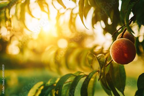 Zdjęcie XXL Peach