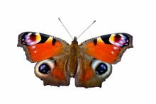 Peacock Butterfly (Aglais Io) ...