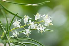 Shatavari (Asparagus Racemosus Willd.) Flowers  , Herbal Plant.