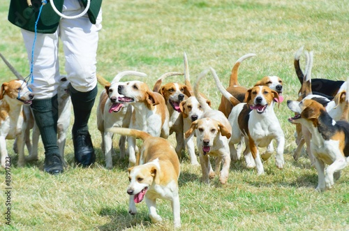 Foto op Canvas Jacht Pack of Beagles out hunting