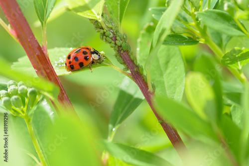 Ladybug sitting on a leaf in the garden.