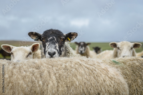 In de dag Schapen Sheep in the Yorkshire dales England countryside staring intently while hiding behind another sheep
