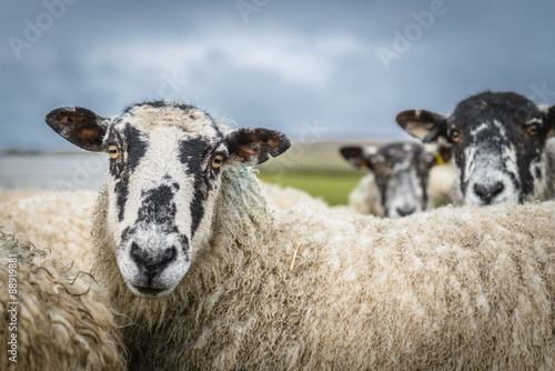 Tuinposter Schapen Sheep in the Yorkshire dales England countryside staring intently.