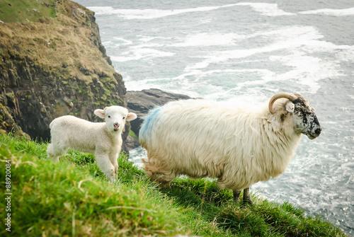 Fotografie, Obraz  Matka s dítětem ovce jehněčí na travnatých útesů v Dingle, Irsko.