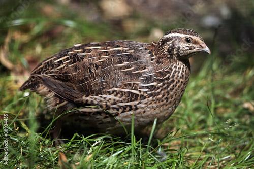 Stampa su Tela Japanese quail (Coturnix japonica).