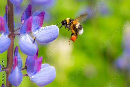 Obraz na płótnie Bumblebee flying