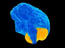 Medically Accurate Illustration Of The Cerebellum