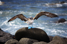 Blue Footed Booby, Galapagos, Ecuador