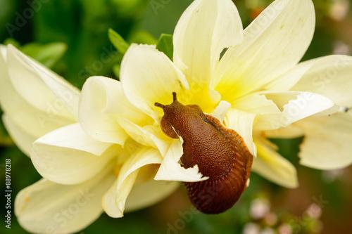 Nacktschnecke frisst an einer Dahlienblüte