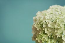 White Hydrangea Flowers On Blu...
