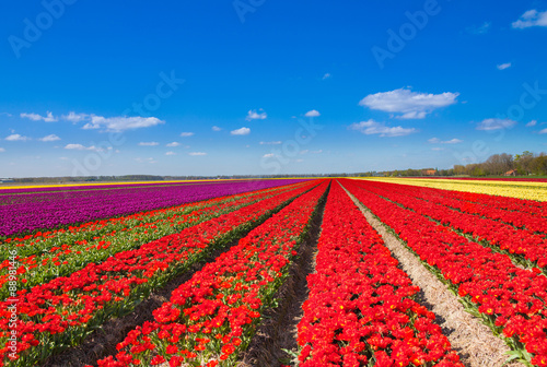 Beautiful tulip field rows with sky horizon