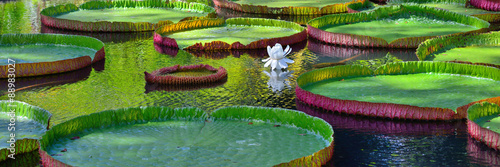 Photo Stands Water lilies Victoria amazonica