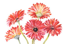 Red Gerbera Watercolor Vector Illustration. Hand-drawing Bouquet