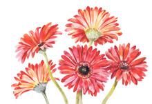 Red Gerbera Watercolor Vector ...