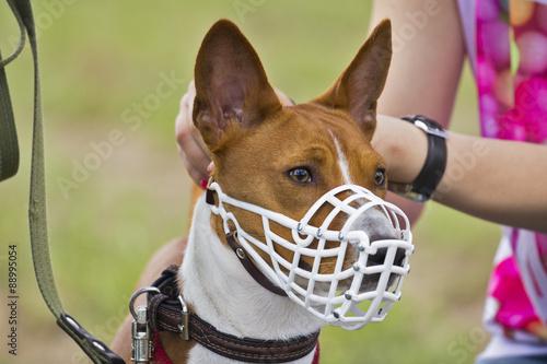 Leinwand Poster  Basenji dog in a muzzle for coursing. Close-up. white muzzle