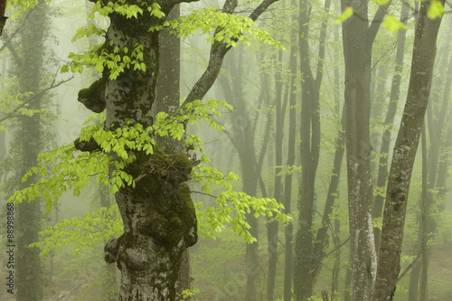 Strong Fog in the Beech Forest. © vkph
