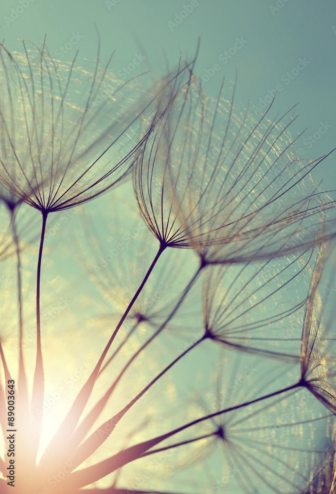 Fototapety, obrazy: Dandelion flower at sunset. Beautiful nature details.