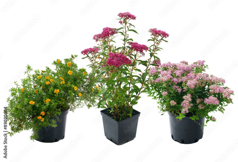 Shrubs in containers on a white background - obrazy, fototapety, plakaty