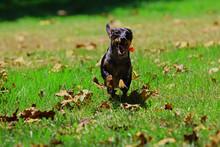 Dachshund Running Tongue Handing Out